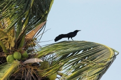 067-Great-tailed-grackle-Schipstern-Nature-reserve-Belize-May-2008_001