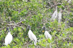 AA001884S-American-woodstork-colony-Schipstern-Nature-reserve-Belize-May-2008-01