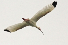 AA001935S-American-white-ibis-in-flight-Schipstern-Nature-reserve-Belize-May-2008-01