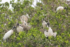 AA001878S-American-woodstork-colony-Schipstern-Nature-reserve-Belize-May-2008-01