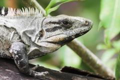 AA001864S-Black-iguana,-Schipstern-Nature-reserve,-Belize,-May,-2008-01